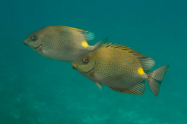 Golden rabbitfish (Siganus guttatus) at Similan island, Thailand