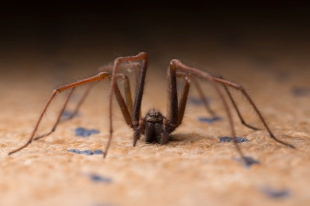 The house spider reduces the number of flies and other insects from houses. © Paul_Cooper/iStock