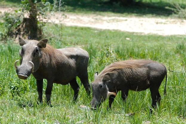 Pair Warthogs closeup with tusks showing feeding in grass Uganda