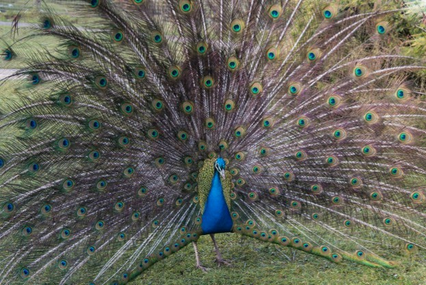A peacock  Pavo cristatus  with his feathers outspread, Blackbrook zoo, England