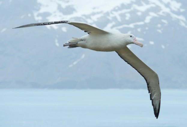 A wandering albatross can circumnavigate the Southern Ocean three times in a year, covering 120,000km. © mzphoto11/iStock