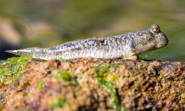 Amphibious mudskippers are able to walk on land using their pectoral fins. © EarnestTse/iStock