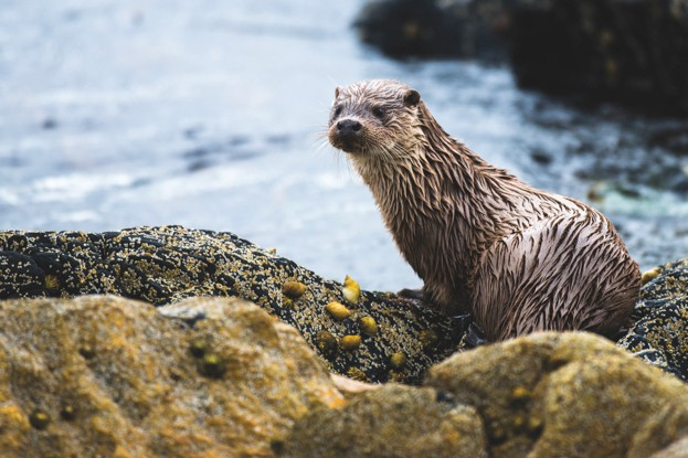 Otters are thriving across Scotland, with a population of about 8,000 individuals.  A high proportion live on the coast © James Warwick / Getty
