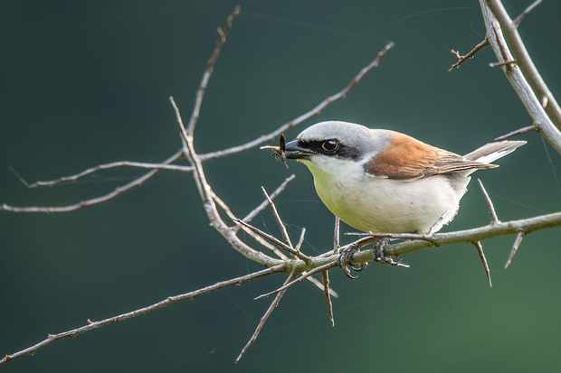 Red-backed shrike. © Prisma Bildagentur/UIG/Getty