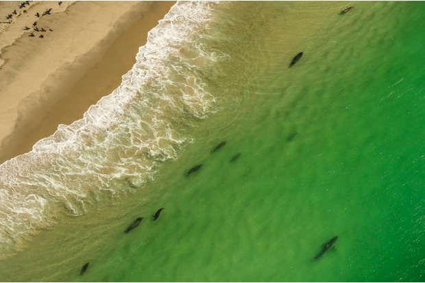 Great white sharks patrol the Cape Cod shores to predate the grey seals that thrive there © Brian J. Skerry / Getty