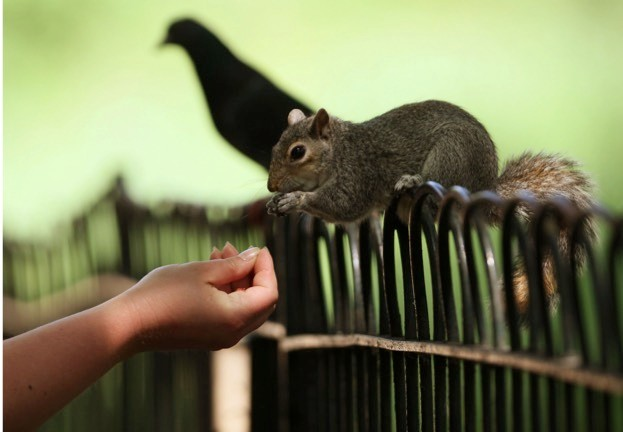 Grey squirrels have had a catastrophic impact on our native reds – they outcompete them, and spread the lethal squirrel pox virus.