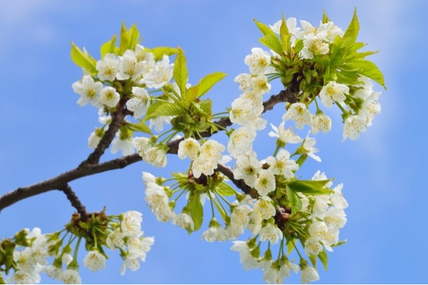 GettyImages-Geo-grafica-blooming20wild20cherry20623-3a295ae
