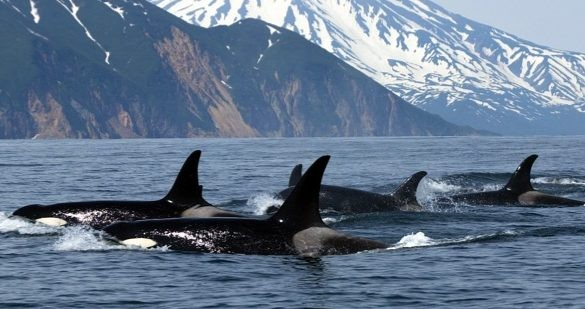 Orcas live in groups called pods. © Lazareva/Getty