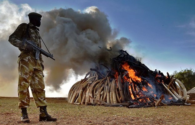 A Kenya Wildlife Services (KWS) officer stands near a burning pile of 15 tonnes of elephant ivory seized in Kenya at Nairobi National Park on 3 March 2015. © Carl de Souza/Getty