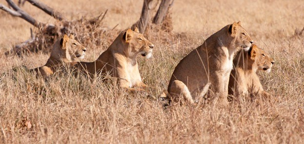 The major issues affecting lions in Africa are habitat loss and conflict with herdsmen. ©pilesasmiles/iStock