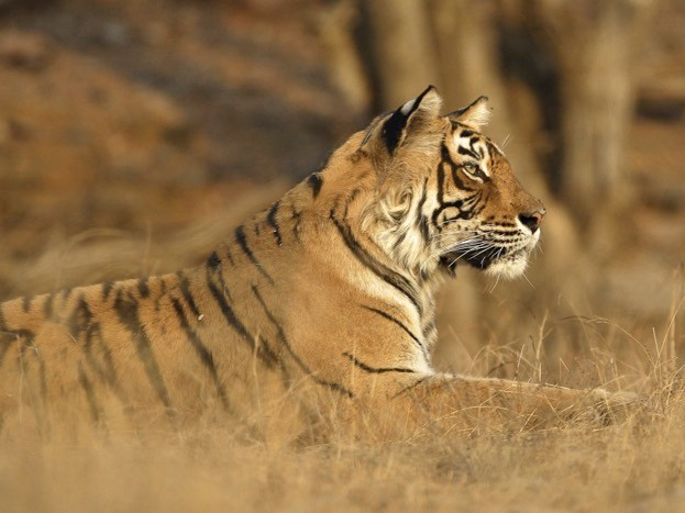 4, 741 is the projected global tiger population in 2022 should the current rate of increase in numbers be maintained. ©dickysingh/iStock