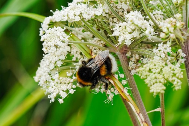 Close up of a White Tailed Bumblebee on a Wild Parsnip flower.