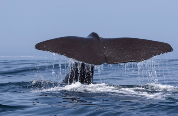the tail of a sperm whale which dives into the water a summer day