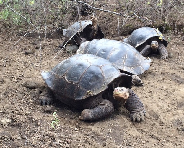 Giant tortoises at the Wolf Volcano in Galapagos © James P Gibbs/ESF