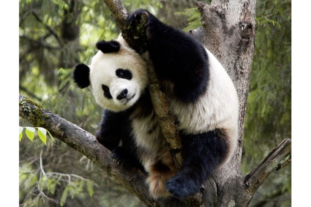 Giant Panda (Ailuropoda melanoleuca)  in tree, Wolong Panda Reserve, Sichuan Province, China