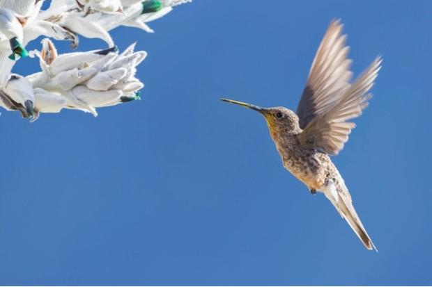 Südamerika, Peru, Anden, Chivay, Colca Tal, Colca Canyon; spanisch Cañón oder Valle del Colca, Riesenkolibri (Patagona gigas), auch Riesengnom, en: giant hummingbird, es: picaflor gigante, auf einer Bromelie, Puya weberbaueri