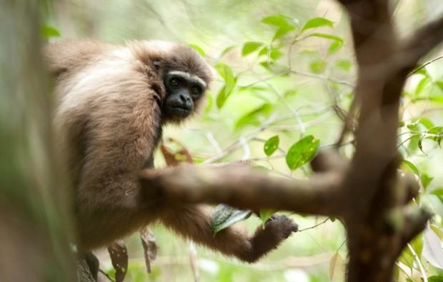 Gibbon623-6983ec6