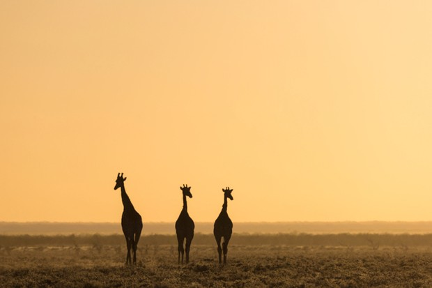 Giraffes-at-sunset_623-3759a2b
