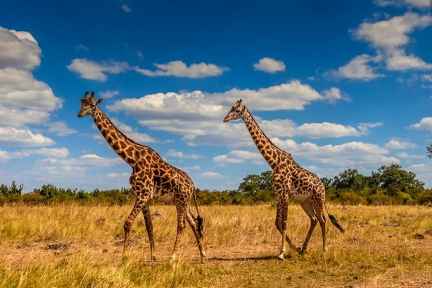 Giraffe guide: species facts, lifespan and natural habitat - Discover  Wildlife