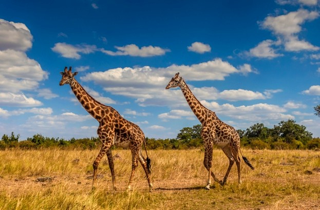 Giraffes walking through the savannah in the Masai Mara © Manoj Shah/Getty