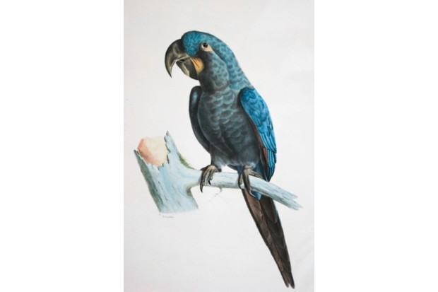 The glaucous macaw has not been seen since 1998 and is now listed as Critically Endangered (Possibly Extinct) © USA Public Domain Bourjot Saint-Hillaire