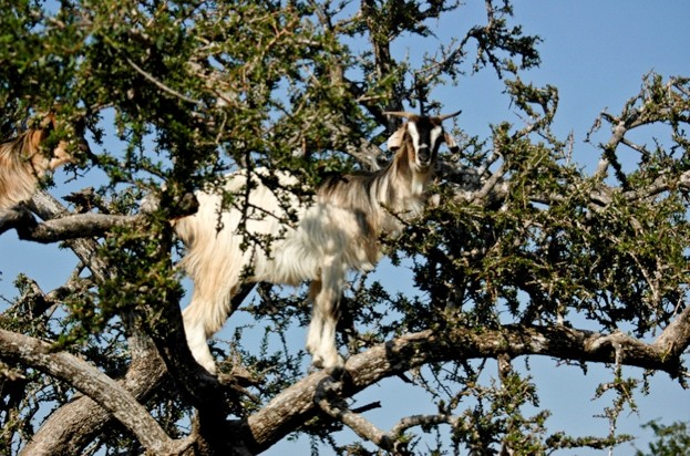Goat_623-f122e99