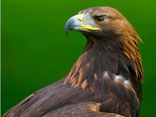 Golden-Eagle_Carl-Roberts_623-94168aa