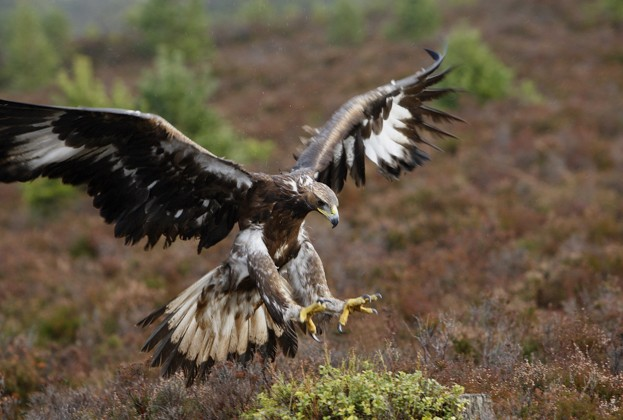 Golden eagles have numerous dwellings to insure against disturbance or damage ©Sylvain Cordier / Getty