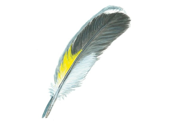 Goldfinch feather