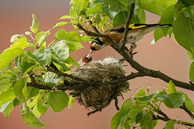 Goldfinches-623-75f4c48