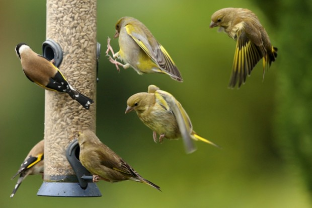 Goldfinches20and20greenfinches_Andrew20Howe2028Getty29_623-c98d580
