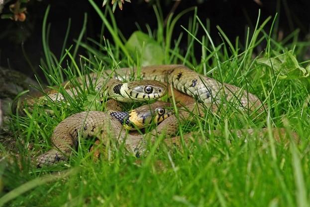 Grass-snake-2-_-Gary-Chalker_623-6db2ba8