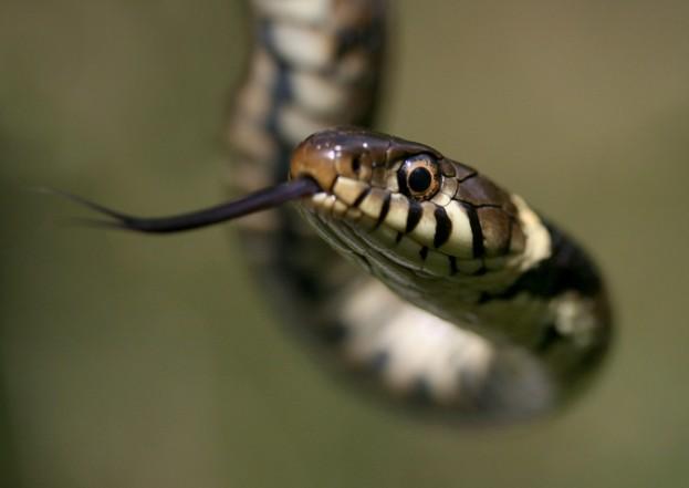 Grass-snake_MDParr_Getty-Essex_623-92087d1
