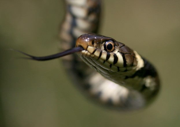 7 things you never knew about the grass snake