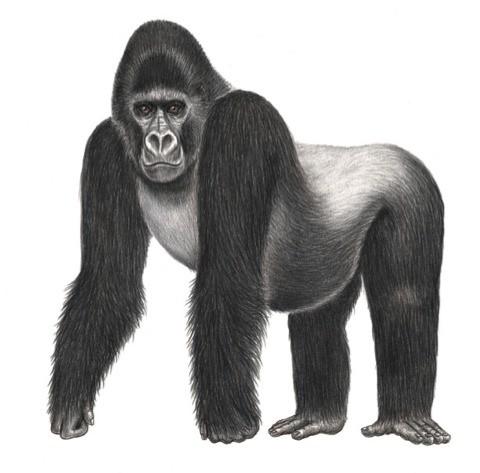 Grauers-gorilla_DRC_480-93b6aa5