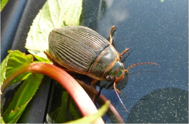 Great-diving-beetle_Ben-Dolphin_623-copy-407bbbd