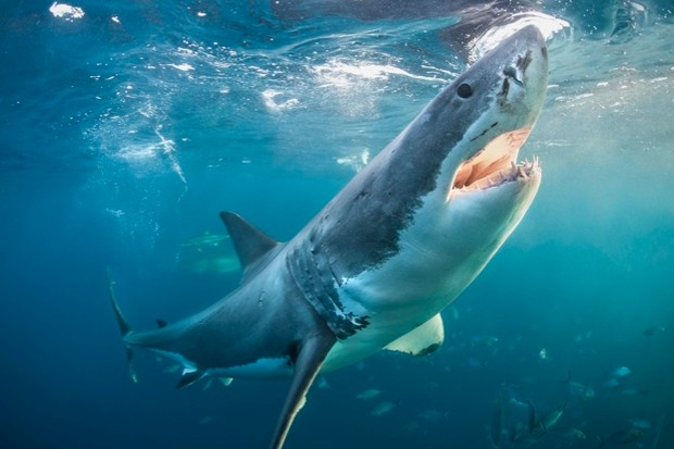 Great-white-shark_Alastair-Pollock-Photography_Getty-Neptune-Islands-Spencer-Gulf-South-Africa_623-448799c