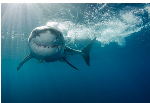 Films such as Jaws have given the great white a frightening reputation that many argue is greatly exaggerated. © Rasmus Raahauge / iStock