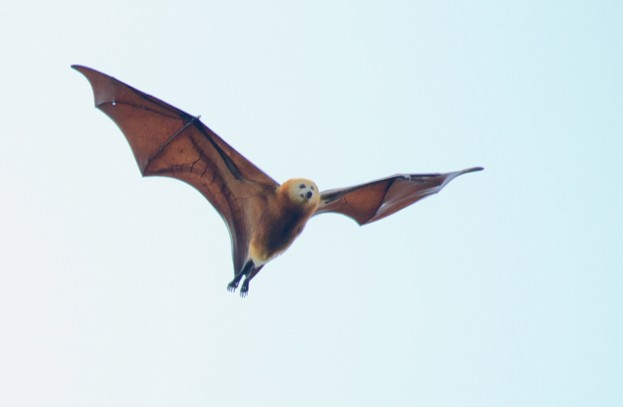 A mass cull between 205 and 2016 was a major contributor to the 50 per cent population decline ot the Greater Mascarene Flying Fox Pteropus niger. © Martin D. Parr
