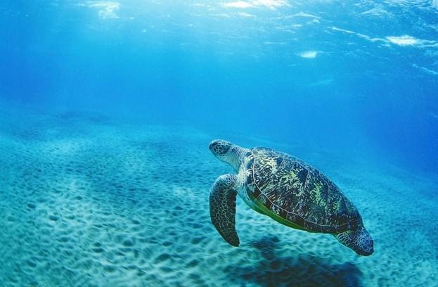 Green-sea-turtle-©-Andrey-Nekrasov-_-WWF_623-1f564c7