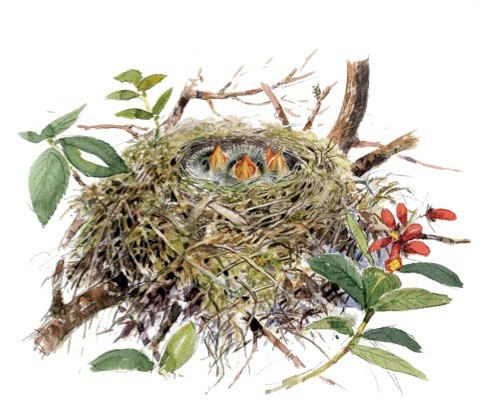 Greenfinch nest