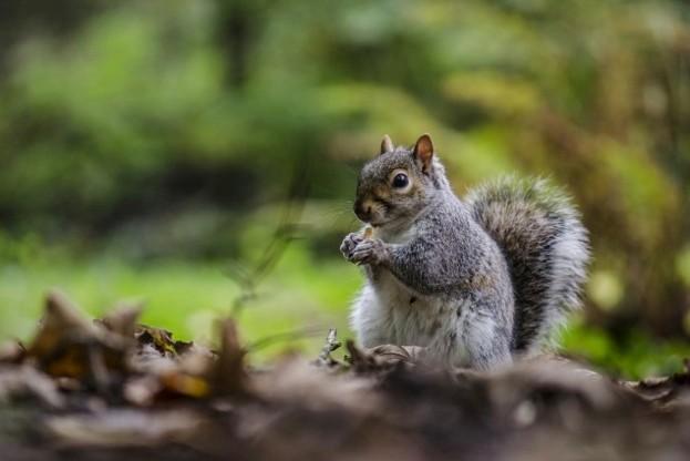 Grey-Squirrel_623_Jemima-Cooper-a72e751