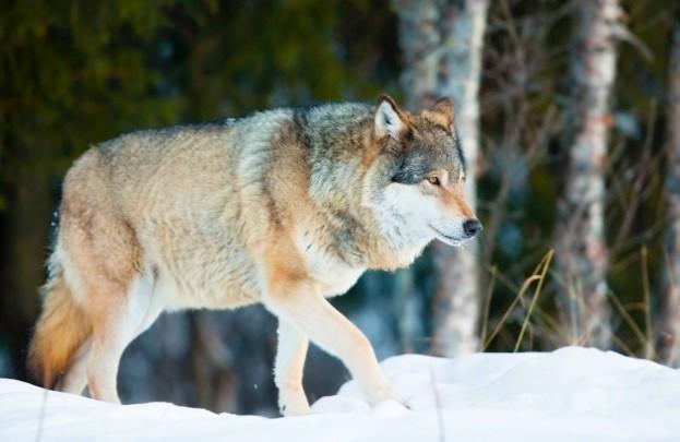Norway's wolf population currently numbers around 68 animals. © kjelol / iStock