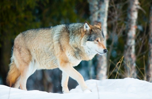 Norway's wolf population currently numbers around 68 animals. © kjelol / iStock