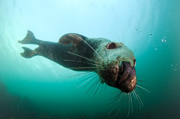 Grey-seal_Barnard-Radvaner_Getty-Farne-islands_623-62994fb