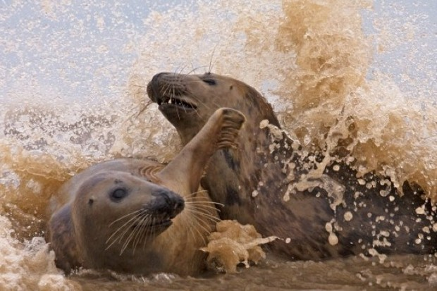 Grey-seals-playing_623_Brian-Chard-9d363e0