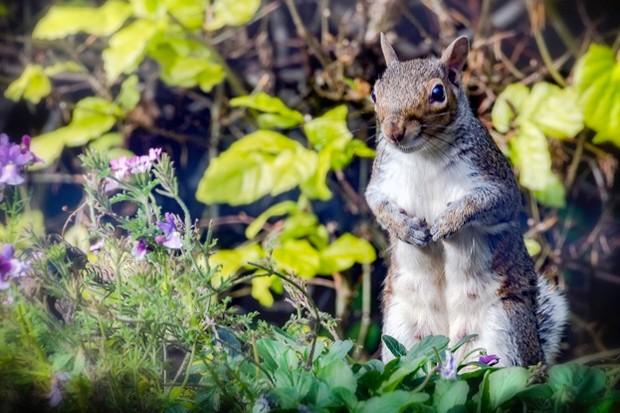 Grey-squirrel-UK-Pauline-Lewis_623-63e2afc