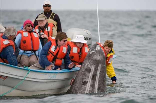 Grey-whale-_-Mark-CawardineBarcroft-Media_Getty-San-Ignacio-Lagoon-Baja-California_623-8a01b86