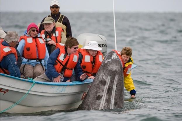 Grey-whale-_-Mark-CawardineBarcroft-Media_Getty-San-Ignacio-Lagoon-Baja-California_623-8a01b86