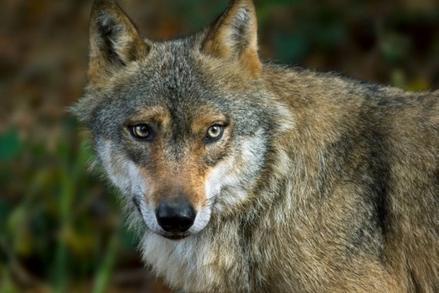 Close-up of European grey wolf (Canis lupus) in forest